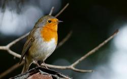 Ornitologia home1