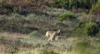Observación del Lobo Iberico - Sierra de la Culebra
