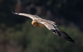Alimoches - Cañón del Río Lobos