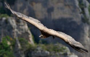 Buitres - Cañón del Río Lobos