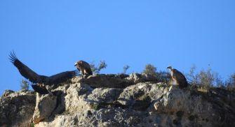 Ruta ornitológica guiada - Hoces del Riaza
