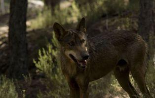 Lobos en Zamora