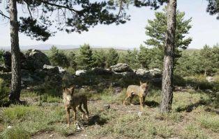 Lobos en Sanabria
