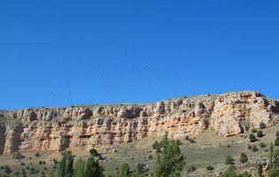 Buitre leonado - Peña Portillo - Hoces del Riaza