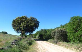 Encinas y quejigos en Laguna de Contreras