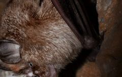 Murciélago grande de herradura