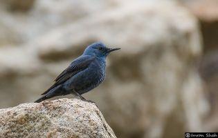 Ruta Ornitológica - Cordel del Puerto de Candeleda