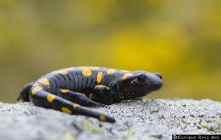 salamandra del Almanzor