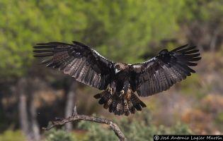 Águila imperial ibérica - Valle de Iruelas