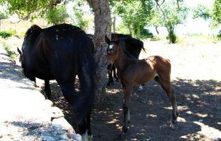 Simpático potrillo junto a su madre cercados en la calle Bajada al Escorial (Riaza)