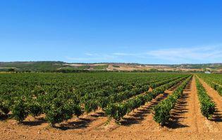 Viñedos en la provincia de Valladolid - Ruta en moto por la Ribera del Duero