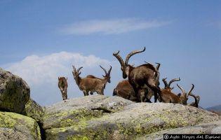 Cabra Montés - Gredos