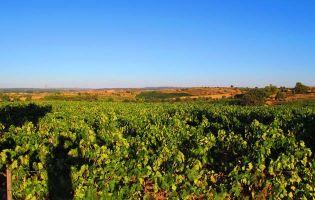 Viñedos Ribera del Duero - Rutas del Vino en Castilla y León