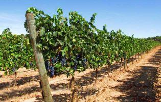 Ruta del vino en Valladolid - Pesquera de Duero
