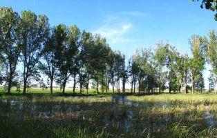 Chopos y vegetación acuática - Laguna de la Llosa