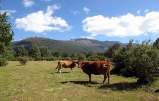Reses pastando en libertad - Senderismo Segovia