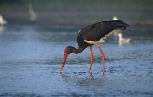 Ornitología en Segovia - Cigueña negra en la Laguna de las Eras