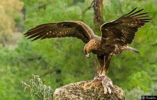 Águila Real - Navaluenga